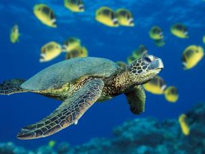 A green sea turtle swims past a school of Raccoon Butterflyfish near Hawaii.